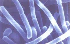 lactobacilus